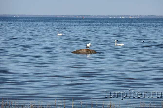 Лебеди в Финском заливе