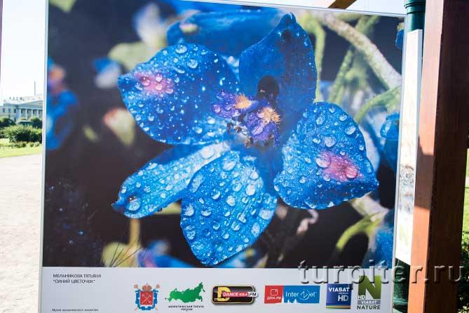 синий распустившийся цветок