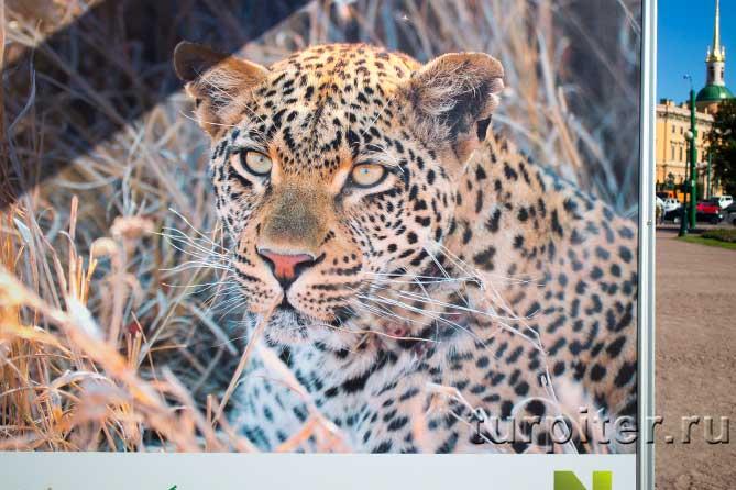 леопар красивый