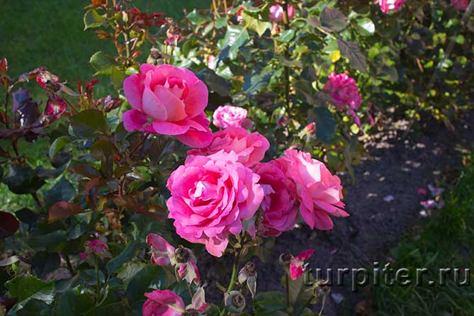 куст розы несколько розовых цветов