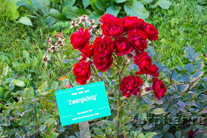 много роз красных на кусту
