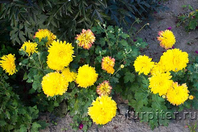 желтые цветы на кусту