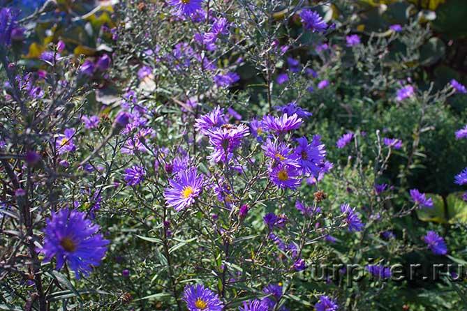 сорт альпийских растений
