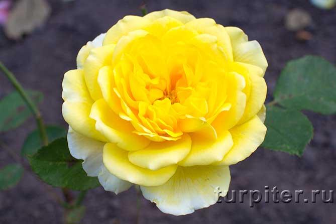 один большой цветок розы
