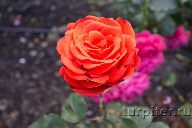 красивый цветок красно-желтой розы