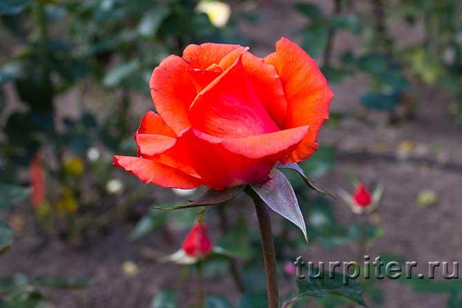 распистившийся цветок розы