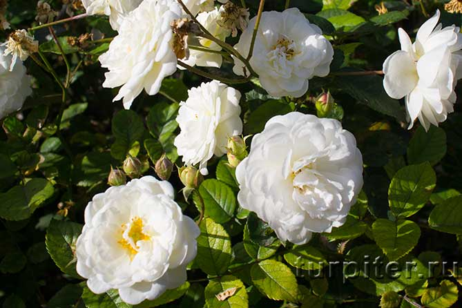 бутоны белых цветов