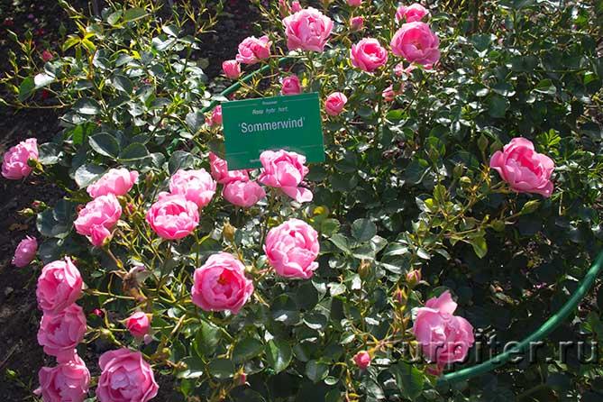 много цветов на кусту розовые розы