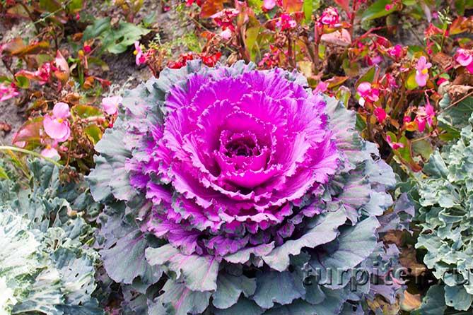 большой розовый цветок растение