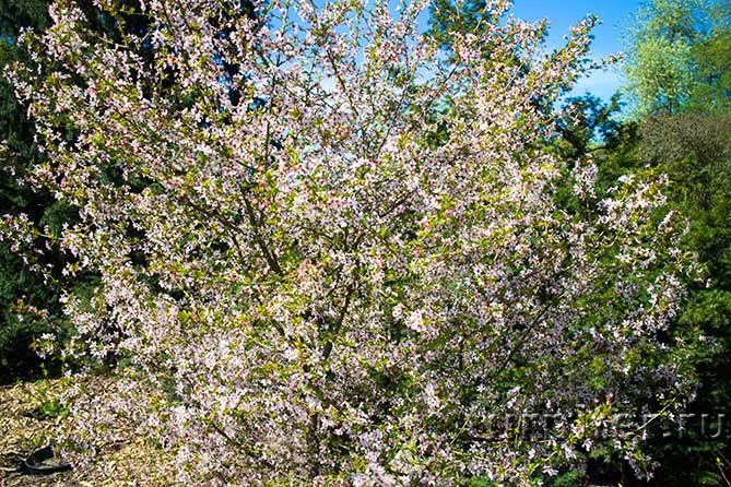 цветет белым цветом сакура