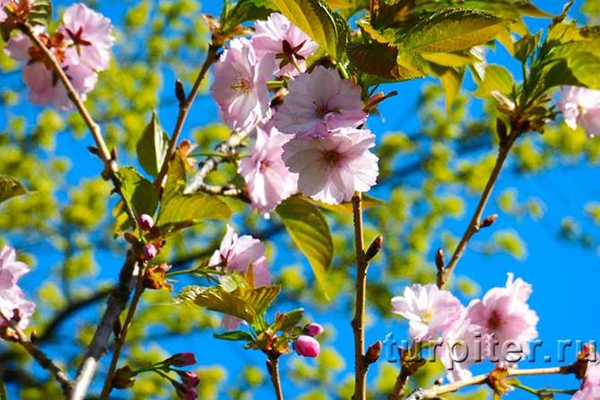 цветы сакуры на фоне неба