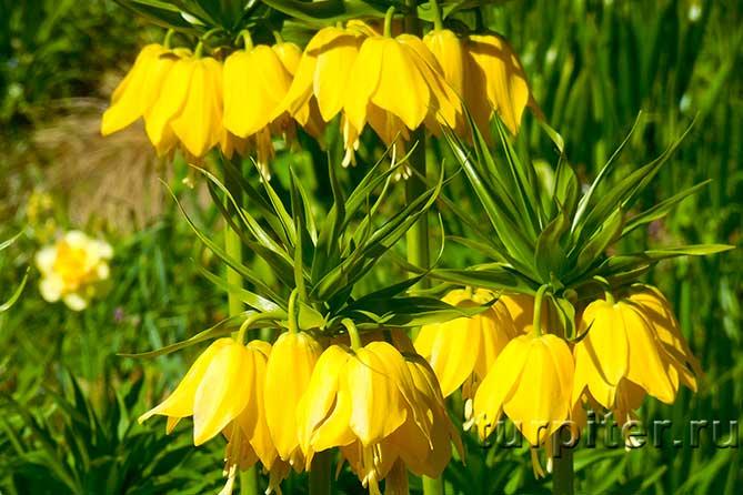два ряда желтых цветов