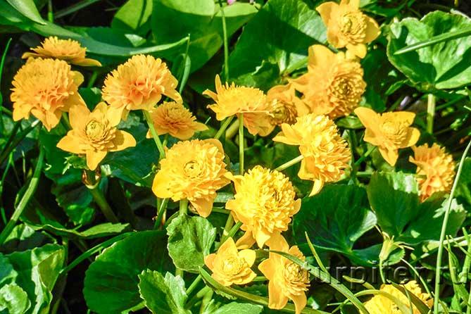 пятилистные цветы