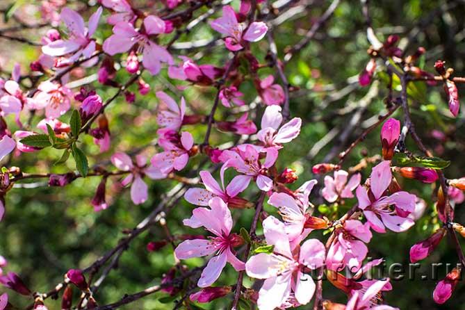 Ботанический Сад цветут розовым цветом