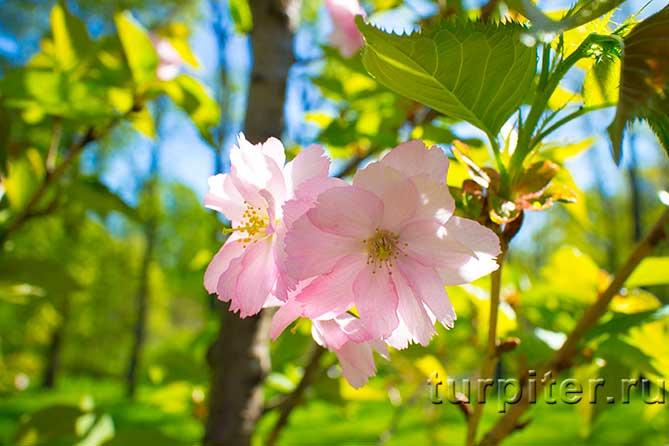 цветет сакура в Питере