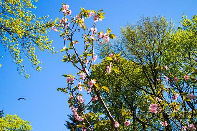 птица летит дерево сакура