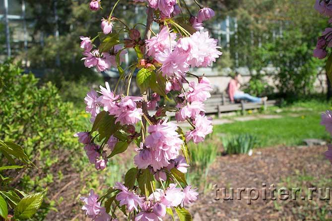 розовая грость сакуры