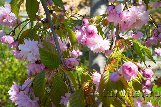 листья и цветы сакуры