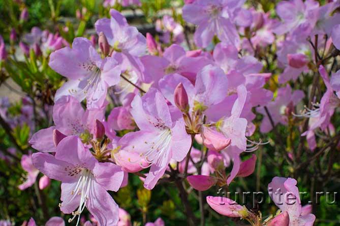 несколько розовых цветов