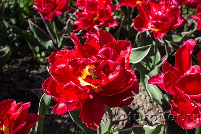 ярко красные тюлпаны