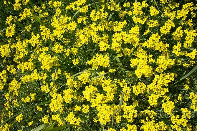 Ботанический Сад желтые поля