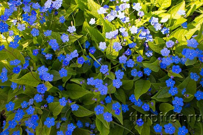Ботанический Сад синие цветы