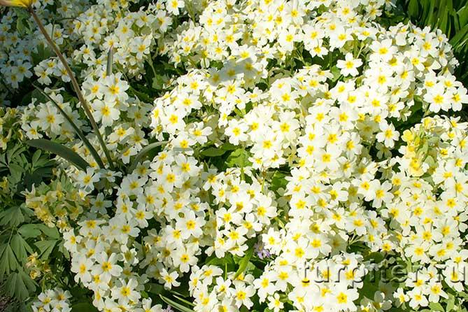 Ботанический Сад много белых