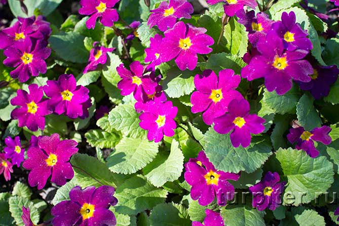 Ботанический Сад розовые