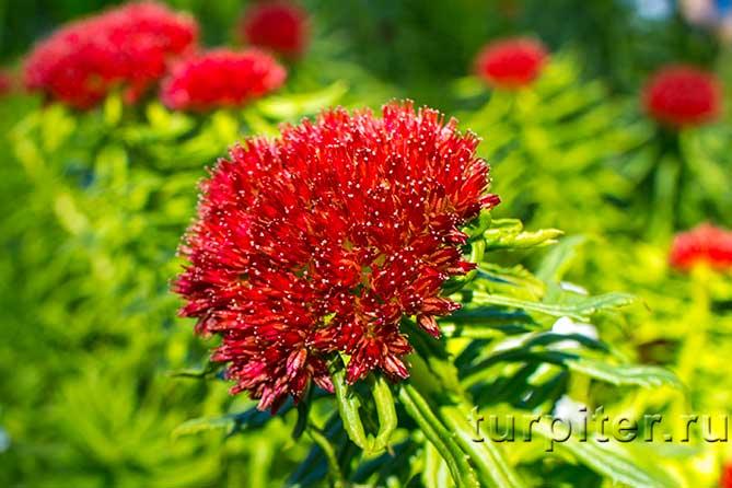 несколько цветков красного цвета