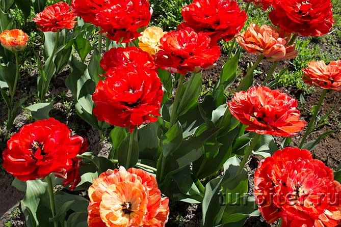 много цветет