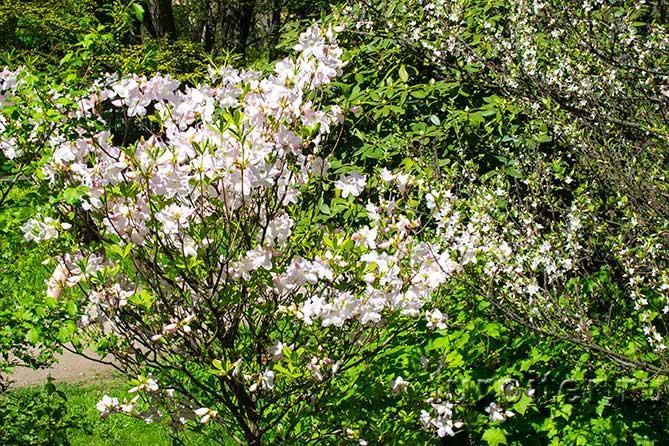 небольшое дерево сакура