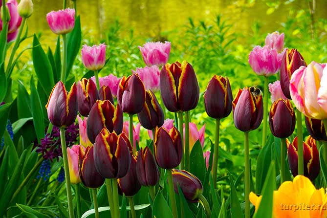 растут темные тюльпаны фестиваль санкт-петербург
