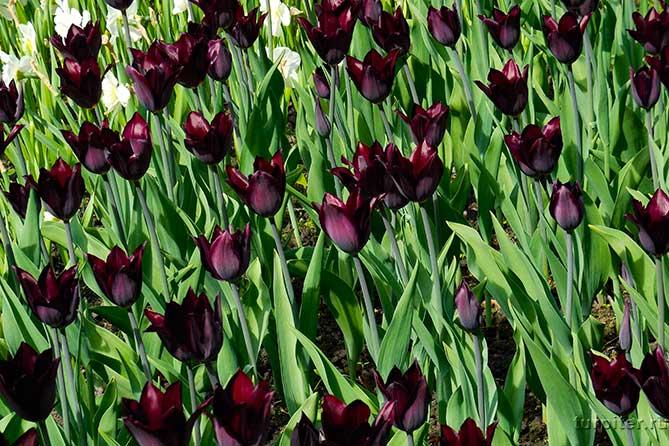 настоящие черные тюльпаны
