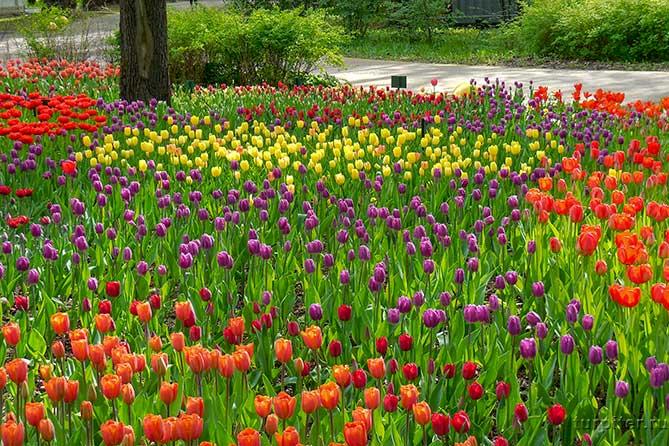 желтые красные сиреневые тюльпаны парк культуры