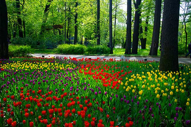 вдоль дорожки посадили несколько сортов тюльпанов
