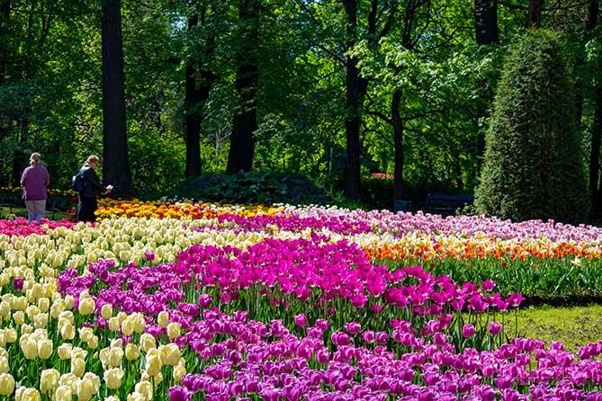 красивые малиновые тюльпаны санкт-петербург