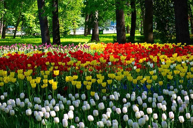 четыре разных сорта тюльпанов