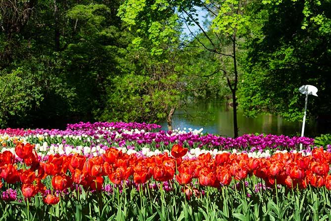 красные белые лиловые тюльпаны на озере