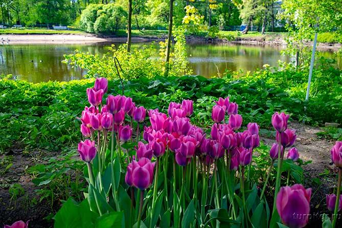 лиловые тюльпагны около реки