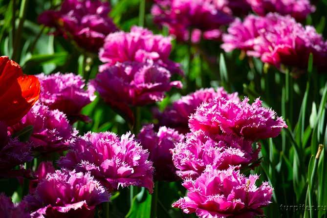 махровые лиловые тюльпаны как пионы