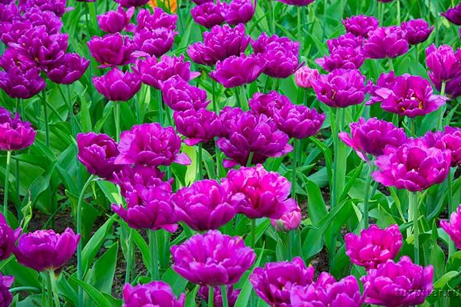 махровые тюльпаны лиловый цвет