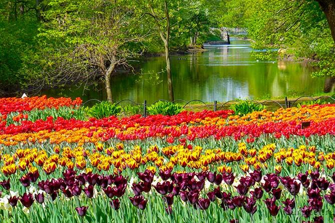 тюльпаны разных цветов на полянне у реки