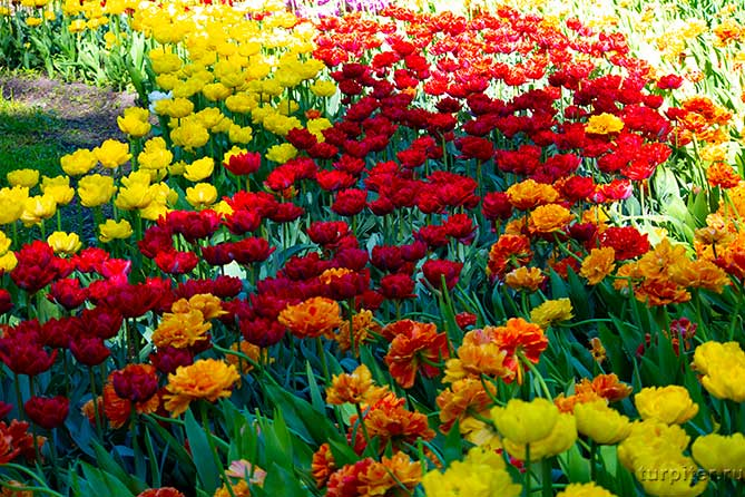 желтые алые пурпурные тюльпаны