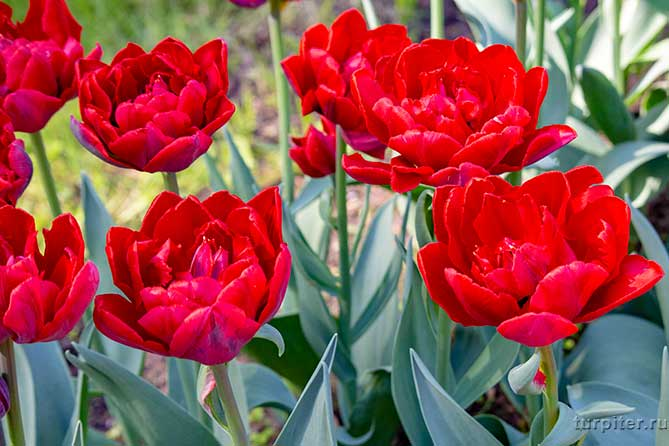 тюльпаны как малиновые пионы