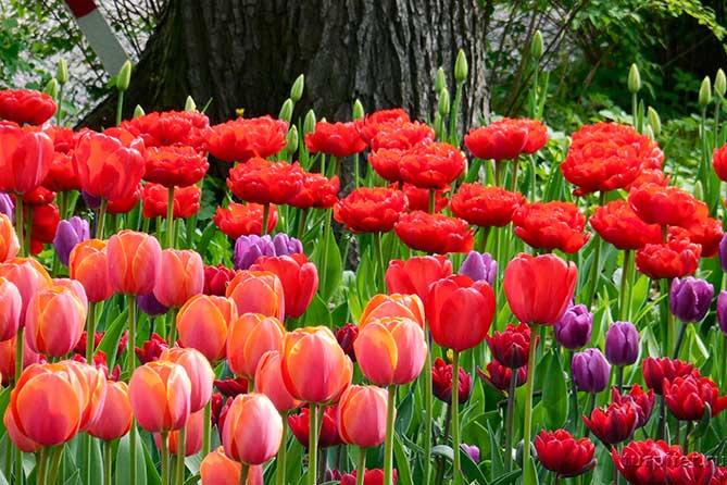 около дерева в парке культуры тюльпаны