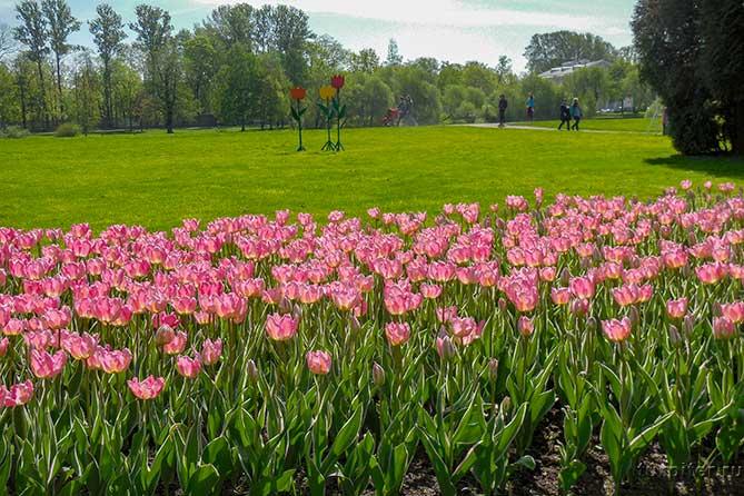около елагинова дворца клумба тюльпаны