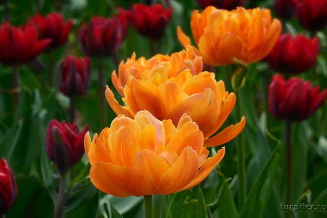 тру желты цаетущих цветка тюльпаны