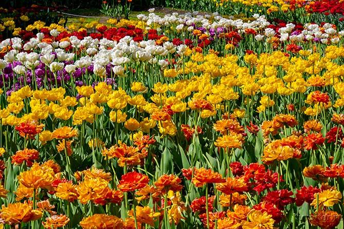 разноцветные тюльпаны не фестивале в питере