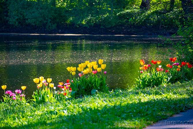 несколько сортов тюльпанов посадили около реки