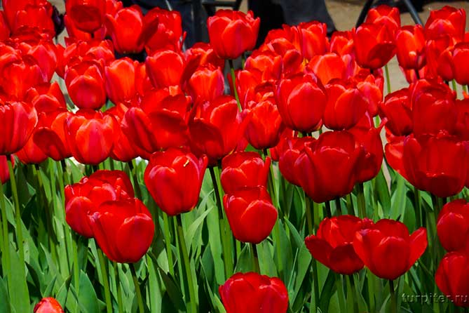 красные бордовые тюльпаны санкт-петербург